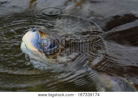 Sea Turtle, an endangered animal amphibian of the Indian ocean