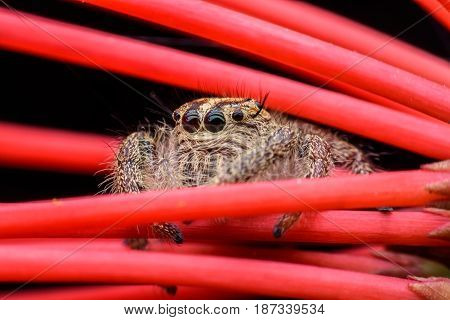 Close up female Hyllus or Jumping spider on red Ixora