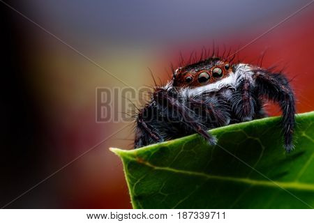 Close up Jumping spider or Carrhotus viduus on green leaf
