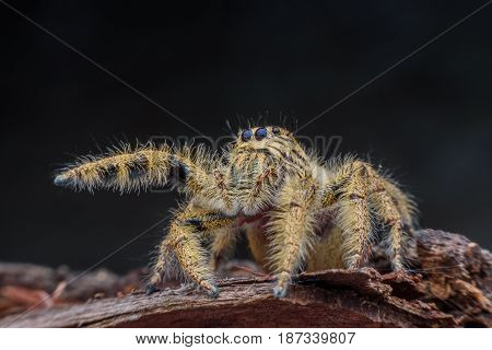 Close up female Hyllus diardi or Jumping spider on rotted wood