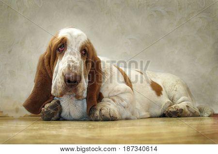 Dog Basset Hound looks sad eyes. A dog with long ears and a sad look.