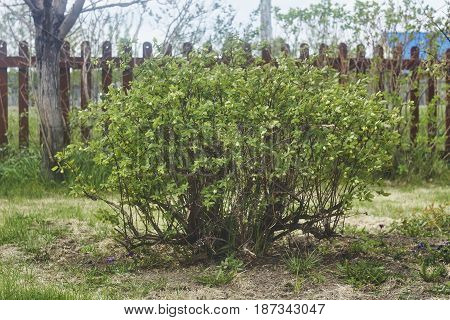 young green honeysuckle tree bush in may