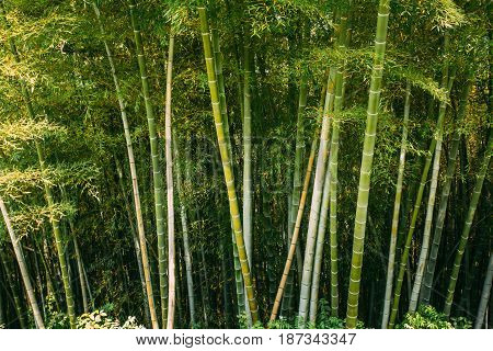 Spring Tall Trees Bamboo Woods. Tropical Forest, Summer Nature. Different Deciduous Trees Summer Background. Nobody. Environment Concept.