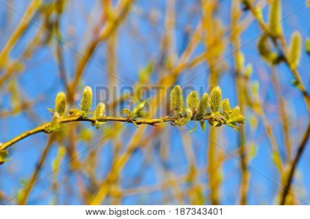 The awakening of nature in spring on the sky background. Young leaves and bloom buds on the branches. The green young shoots of trees.