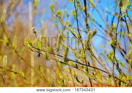 The awakening of nature in spring. Young leaves and bloom buds on the branches. The green young shoots of trees.