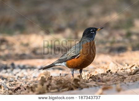 A closeup view of a red-breasted American Robin in the late autumn on a background of fallen leaves near the Grand Canyon. Arizona, USA.