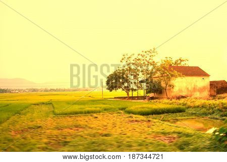 Paddy green and gold rice fields blur with morning soft sunrise in vietnam