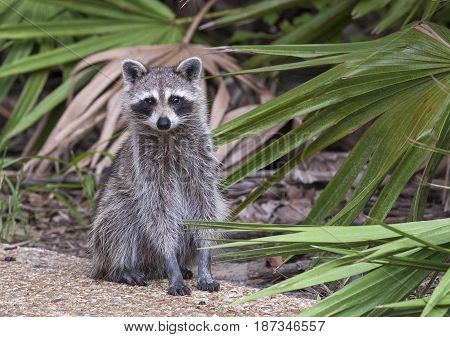 Raccoon Standing On Forest Litter In Middle Of Field In County Park In Florida