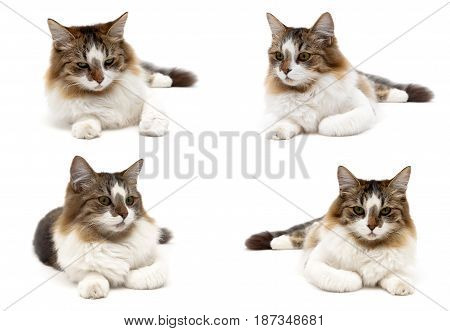 Fluffy cat isolated on white background. Horizontal photo.