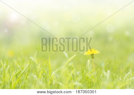 Green delicate background with grass and dandelion