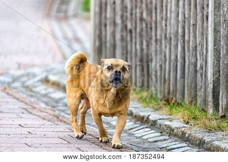 A Little brown pug mixed dog on the walkway