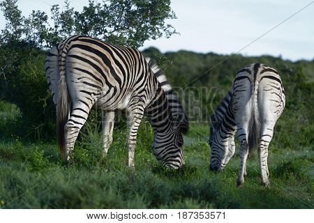 Plains Zebras Foraging In Addo Elephant National Park