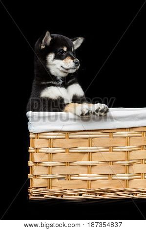 Beautiful black japanese shiba inu puppy dog sitting in basket over black background. Copy space.