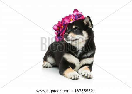 Beautiful black japanese shiba inu puppy in pink hat dog lying. Isolated on white. Copy space.