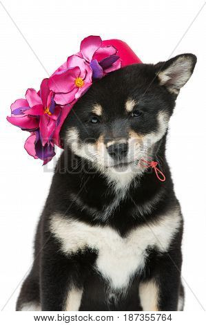 Beautiful black japanese shiba inu puppy in pink hat dog sitting. Isolated on white. Copy space.