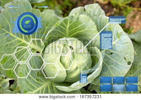 agriculture, gardening and organic farming concept - cabbage growing on summer garden bed at farm