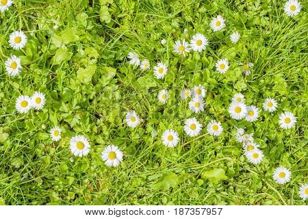 Field Of Daisy Blossoms In A Green Meadow