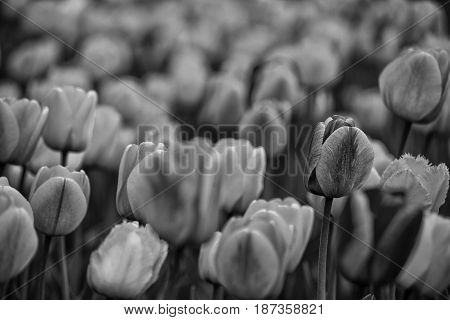 Tulips on a field in black and white