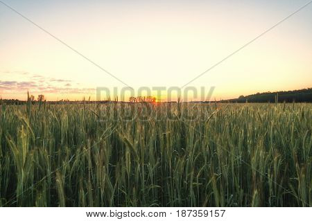 Ear of green wheat just before sunrise