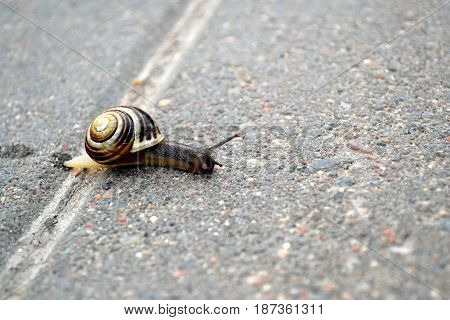 The young striped snail crawls along the cobbles early in the spring