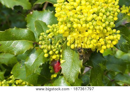 Bee Collecting Nectar On A Yellow Flower