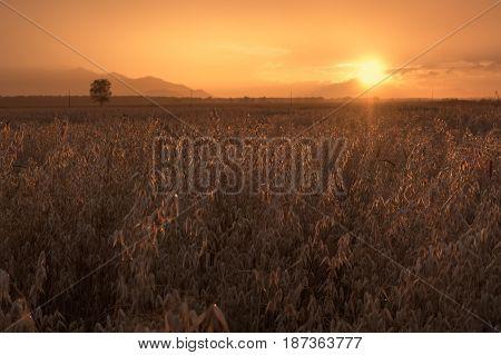 Autumn field of oats on the sunset cloudy orange sky background, Altai region, Siberia, Russia