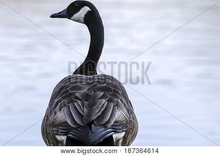 A Canadian branta goose on the banks of a pond
