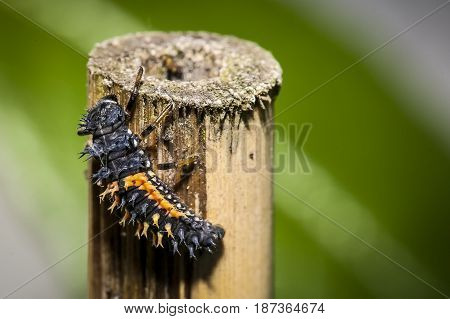 A larva of ladybird bug on a bamboo stick