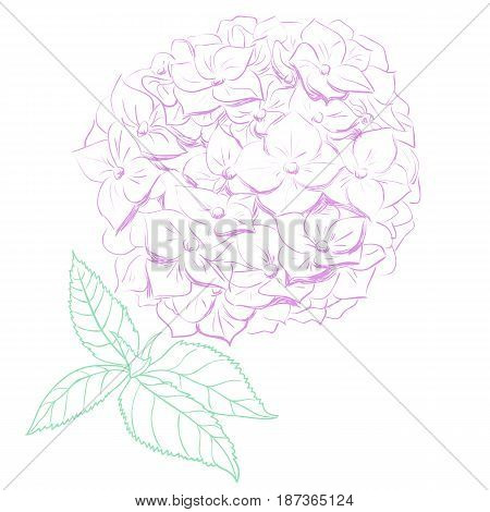 Hydrangea flower vector illustration in hand drawing style.