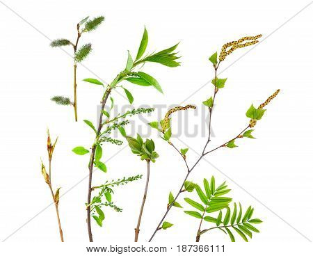 Spring still life from branches of young trees such as: mountain ash birch and others isolated on white background.