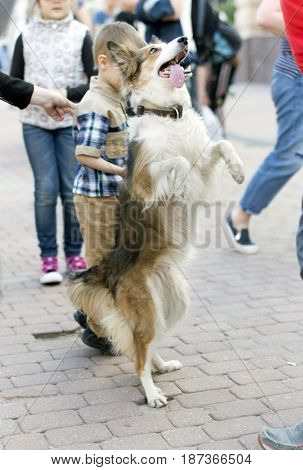 A trained dog stands on a city street.It is standing on its hind legs and stand bunny.
