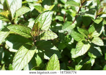Mint Plant Close Up High Quality Stock Photo