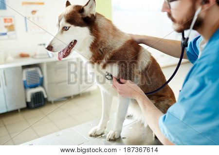 Clinician with stethoscope giving medical treatment to dog