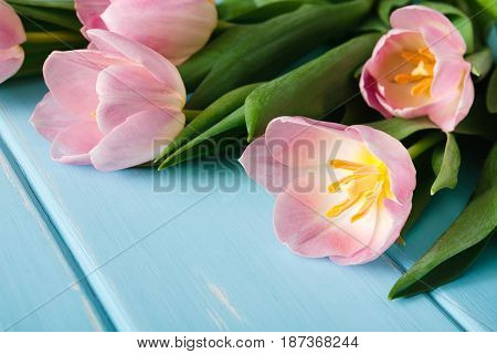 Pink tulips on blue wood background, copy space. Bouquet of flowers, mockup for greeting card