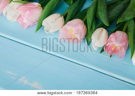 White and pink tulips on blue wood background, copy space. Bouquet of spring fresh flowers, mockup for greeting card