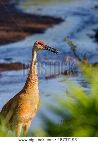 Sandhill crane (Grus canadensis) feeding on a bank of a Wisconsin stream in May