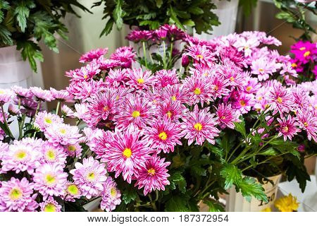 A large bunch of chrysanthemums. A gift for a holiday. Valentine's Day or wedding. For your girlfriend.