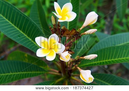 Plumeria - a very beautiful flower from Thailand