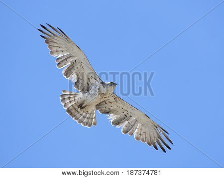 Short-toed snake eagle with blue skies in the background
