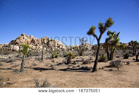 Joshua Trees sprouting up through the desert in Joshua Tree National Park