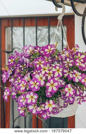 beautiful purple Petunia planted in a pot in the garden