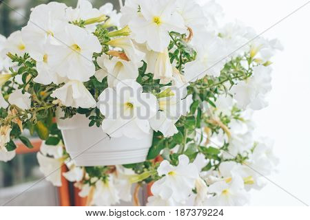 beautiful white petunias planted in a pot in the garden