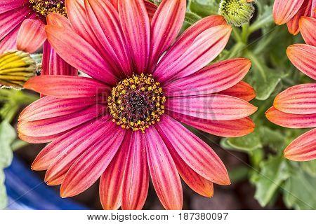 Macro shot of pink daisy. Closeup. Background