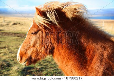 Cute brown Icelandic horse standing in the wind