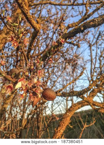 Almonds and flowers in the same tree branch. Amazing sunset light