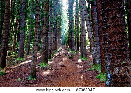 Pine forest grove along Sleeping Giant Trail in Kauai Hawaii