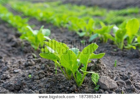 young sprout rows in the field in a spring. agriculture and gardening concept. soft focus