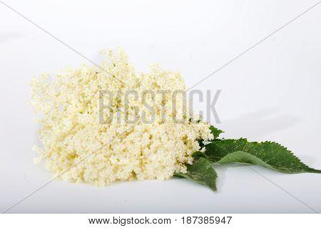 Bloom and leaves of elderflower (Sambucus nigra) on white background. Elderberry flower.