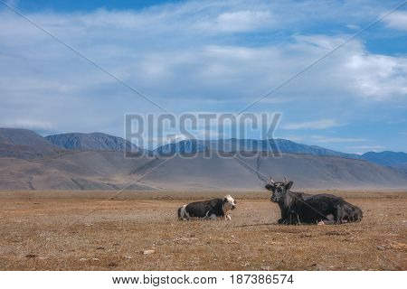 Autumn countryside landscape with cows grazing on hills in grass field, on the background of mountains Altai region, Siberia, Russia