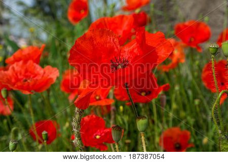 red poppy flowers field. close up. shallow depth of field